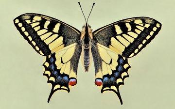 бабочка, крылья, красиво, чешуекрылые