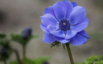 фокус камеры, макро, синий, цветок, лепестки, анемона, ветреница