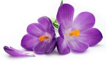 цветы, лепестки, крокусы, цветы, crocus, цветком