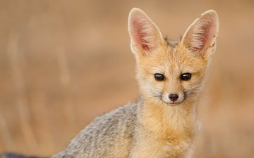 look, fenech, fennec fox, south african fox