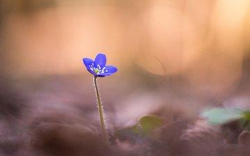 фокус камеры, макро, цветок, лепестки, размытость, синяя, печёночница, anemone hepatica