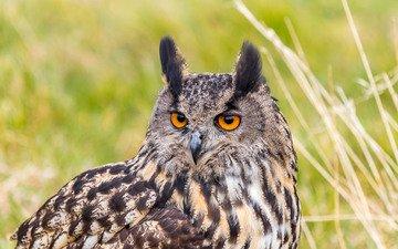 portrait, look, predator, bird, owl, eurasian eagle owl, bubo bubo, eagle owl