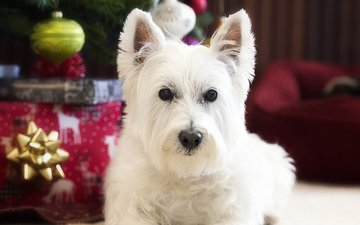 look, dog, the west highland white terrier
