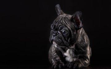 собака, щенок, позирование, французский бульдог