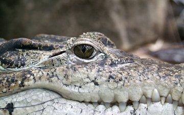 крокодил, рептилия, чешуйки, пресмыкающееся, аллигатор