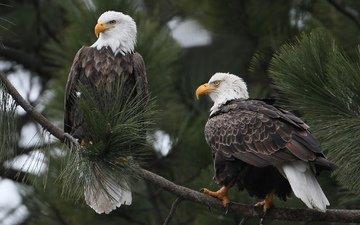 ветка, птицы, белоголовый орлан