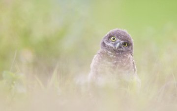 owl, nature, background, bird, burrowing owlet (athene cunicularia)