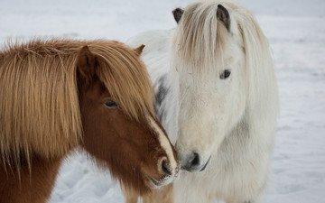 природа, зима, пони, icelandic ponies