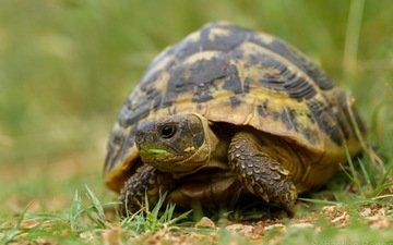 природа, фон, черепаха