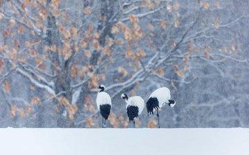 снег, зима, птицы, журавль, японский