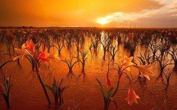 лилии, солнца, в воде, в красных, лучах