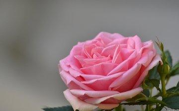 цветы, роза, лепестки, бутон, розовые