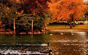 деревья, парк, осень, водоем, птицы, пруд, утки, деревь, опадают, на природе, осен