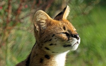 muzzle, kitty, profile, baby, serval, bush cat, leptailurus serval