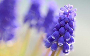 цветы, макро, размытость, синие, мускари