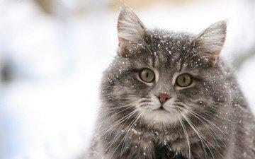 глаза, снег, кот, кошка, пушистый, киска, взор