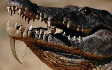 зубы, крокодил, зубки, во рту, пресмыкающееся