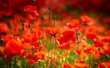 цветы, фон, маки