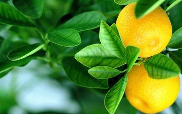 листья, фрукты, апельсины, цитрус, плоды, fruits, листья