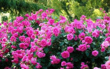 кусты, розы, япония, киото, японии, ботанический сад, kyoto botanical garden