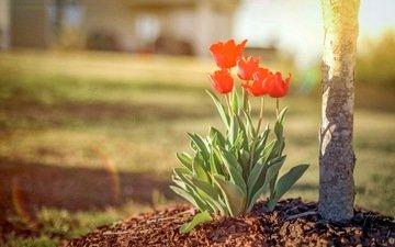 цветы, природа, весна, тюльпаны, тульпаны