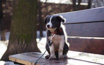 собака, щенок, бордер-колли, cобака