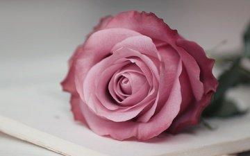 макро, цветок, роза, розовая