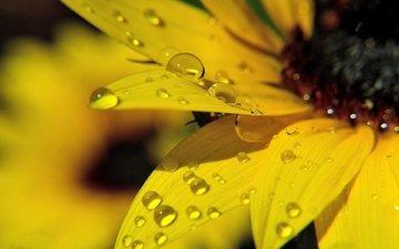 желтый, макро, цветок, роса, подсолнух, жёлтая, росы, подсолнечник, цветком