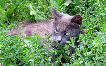трава, кот, кошка, серый