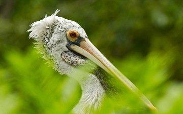 птица, австралия, пеликан, птаха
