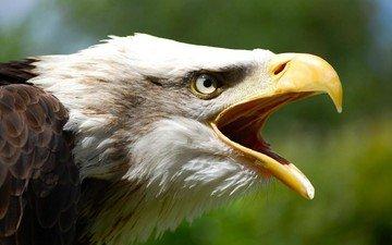 орел, птица, клюв, перья, белоголовый орлан