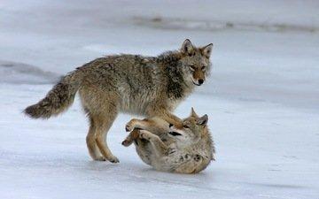 природа, фон, волки