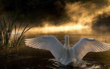 озеро, природа, лебедь