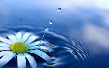цветы, вода, брызги, ромашка, всплеск, падение, водяные капли, капли воды, цветком, дейзи, капелька