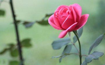 цветы, листья, розы, розовые