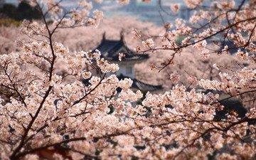цветение, япония, сакура, японии, himedzi