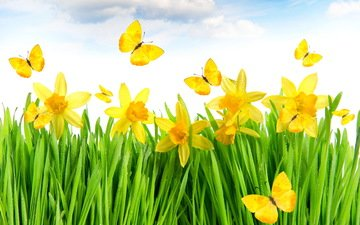 цветы, трава, желтый, луг, весна, бабочки, нарциссы