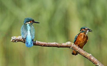 branch, nature, background, birds, kingfisher