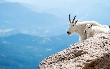 горы, животные, коза, белые, козленок, козы, парнокопытные, горные козы, мать и дитя