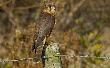 вид, проволока, профиль, птица, сокол, деревянный столб, птаха