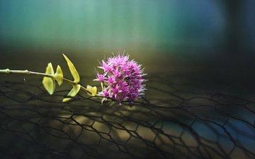 макро, фон, цветок