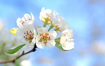 цветы, ветка, цветение, яблоня, эппл