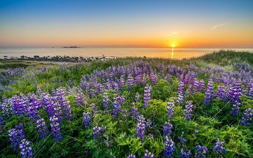 цветы, закат, море, побережье, норвегия, люпины, норвегии, ругаланн, северное море
