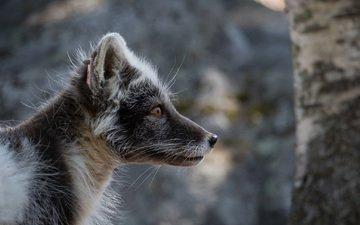 природа, портрет, лис, песец, лисица полярная, лето мех, полярная лиса