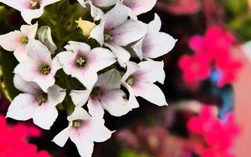 цветы, белый, цветком