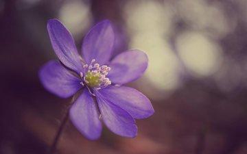 фокус камеры, макро, цветок, фиолетовый, сиреневый, анемона, ветреница, печёночница, перелеска, pechenochnica-pereleska-2241.jpg печёночница