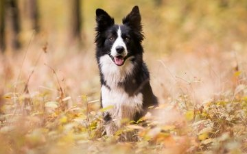 лес, парк, осень, собаки, бордер-колли