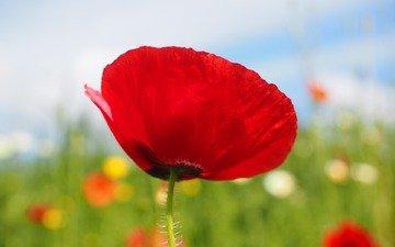цветок, лепестки, красный, размытость, мак, стебель