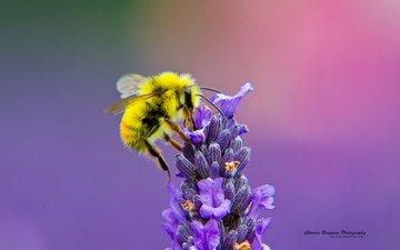 насекомое, цветок, лаванда, пчела, нектар