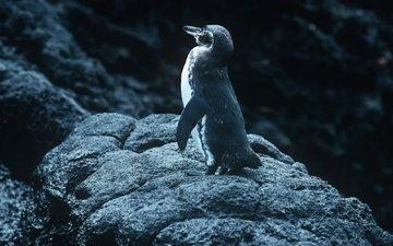 камни, птица, пингвин, булыжники, птаха